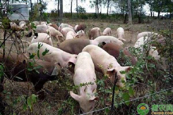 非洲猪瘟保险补偿标准
