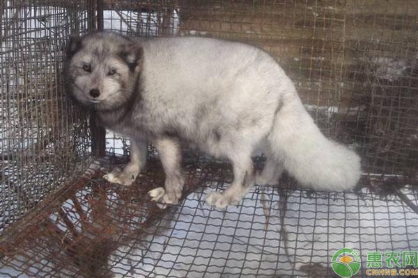 狐狸养殖致富