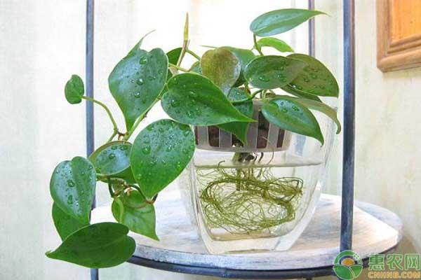 郁金香的水培方法
