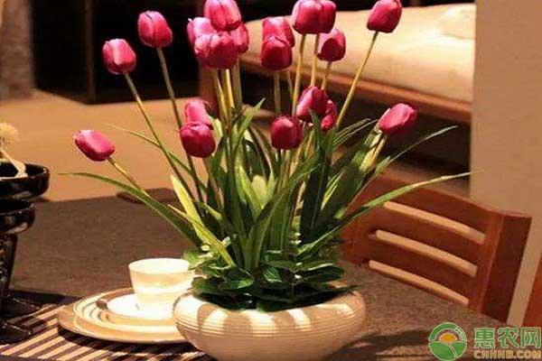 郁金香的养护方法