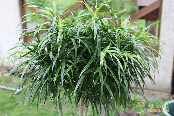 百合竹的养殖要点