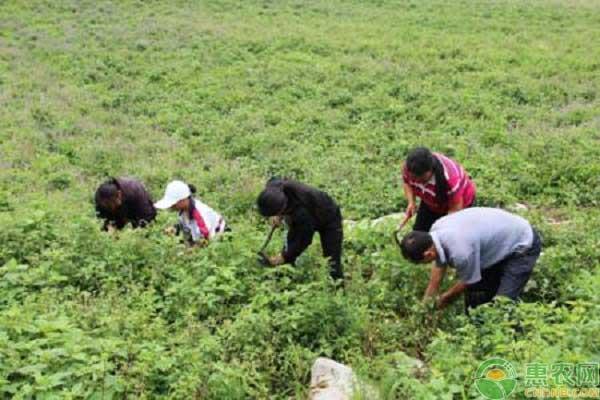 丹参产业种植致富