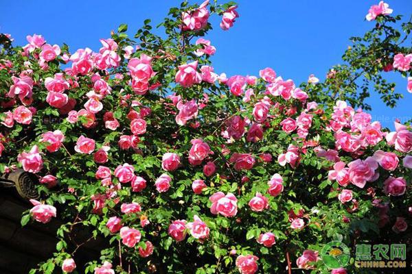 蔷薇种植方法