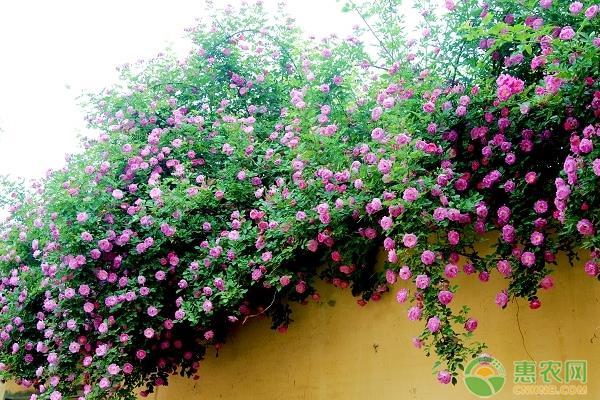 蔷薇多少钱一棵