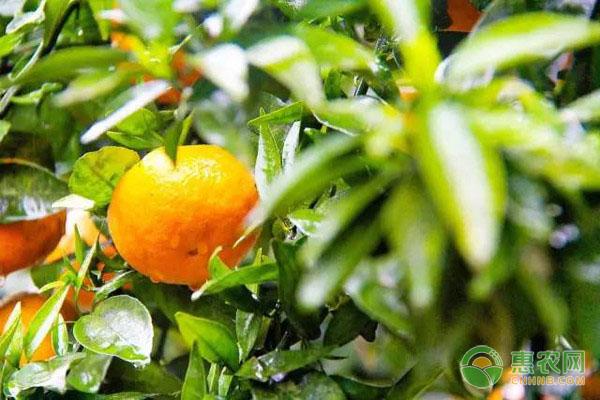 柑橘幼苗如何移栽?都有哪些注意事项?