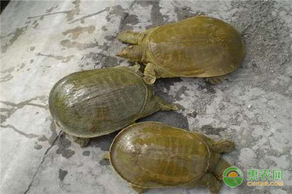 池塘甲鱼的养殖技术要点