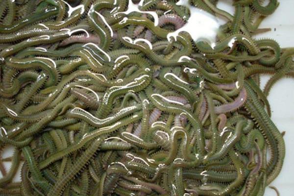 东莞老人养殖禾虫,成功申请发明专利,年产达2000斤!