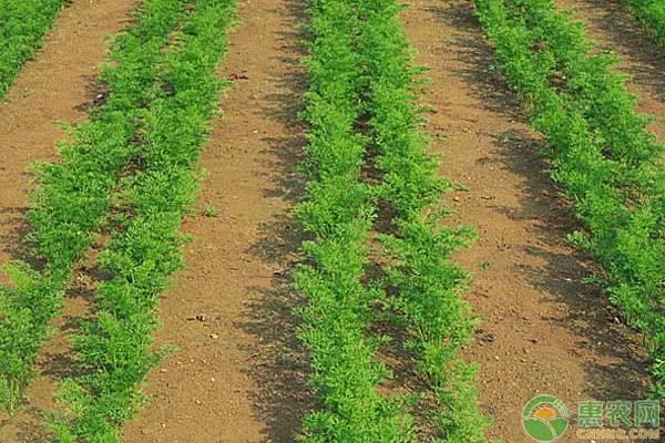 头伏萝卜二伏菜,胡萝卜这样种植能高产!