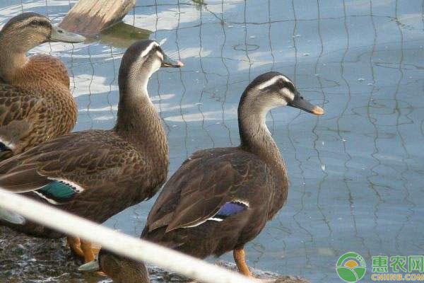斑嘴野鸭养殖致富