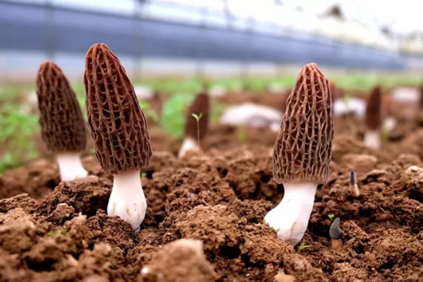 """羊肚菌被誉为""""菌中之王"""",是成县农民致富的产业!"""