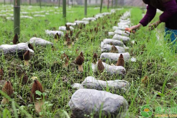 羊肚菌种植致富