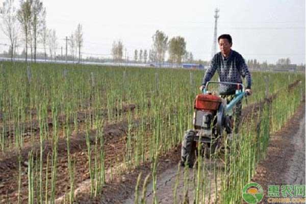 芦笋产业种植