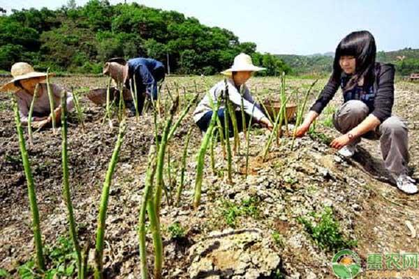 芦笋增收致富