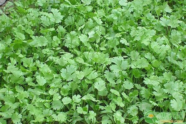夏季香菜高产栽培管理技术