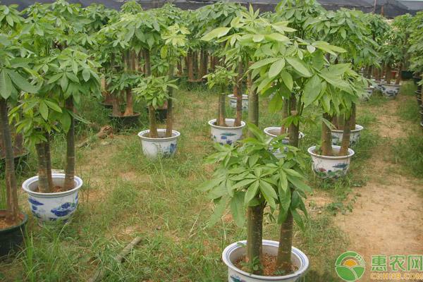 发财树风水摆放三不要,发财树怎么养护好?