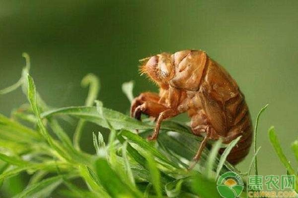 养殖金蝉用什么树好呢?金蝉生长期管理七要点