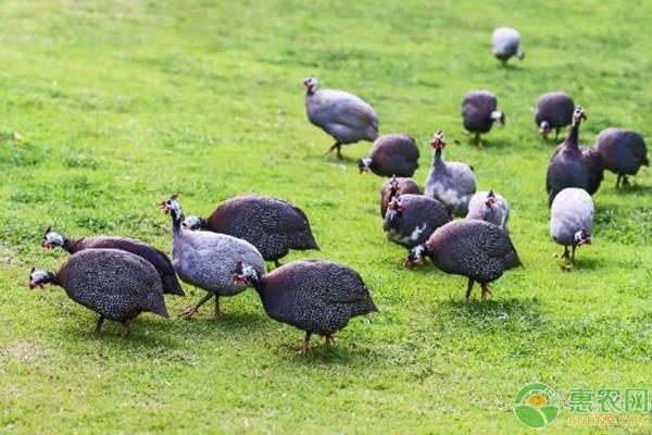 农村养殖珍珠鸡赚钱吗?2019珍珠鸡市场价格及养殖前景