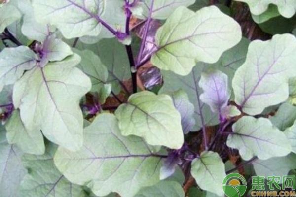 入伏后可以种植什么蔬菜?注意事项有哪些?