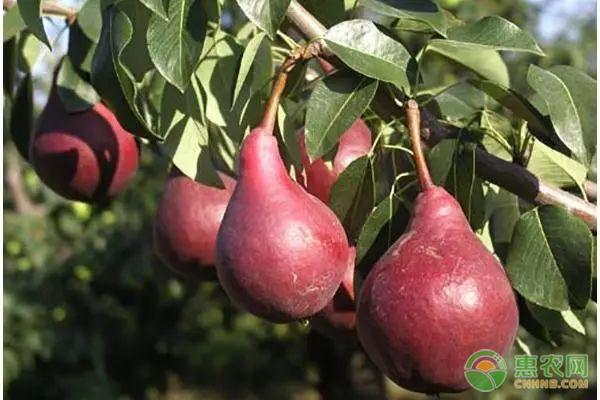 水果种植项目推荐