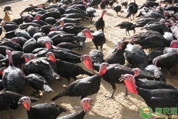农村养殖火鸡赚钱吗?2019火鸡市场价格及养殖前景分析