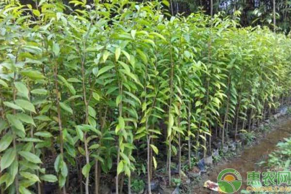 农村种什么苗木市场前景好?这四种高端苗木能赚不少钱!