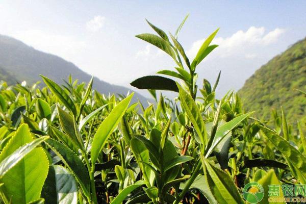 中国有哪十种名茶?各有什么特色?你都喝过吗?