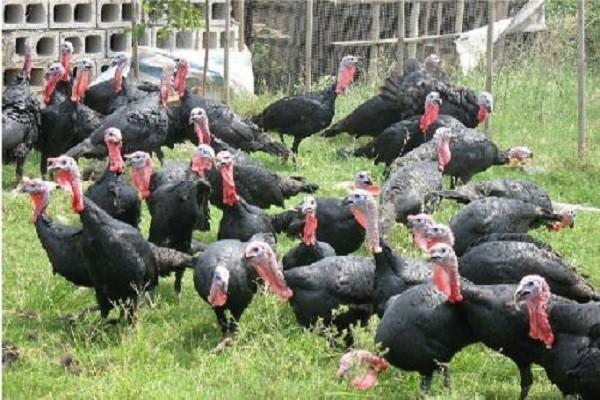和静县发展规模化火鸡养殖,让火鸡成为当地的致富项目!