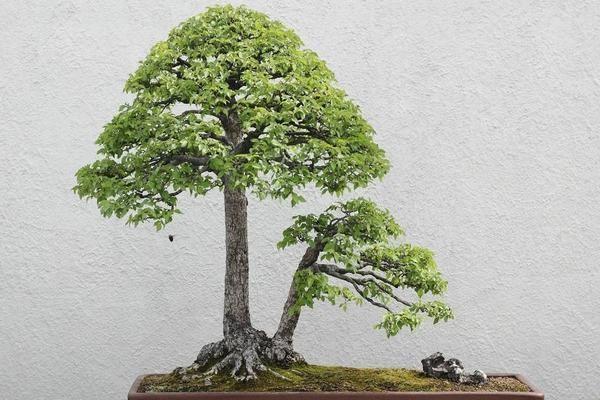 农村哪些树木适合做盆景?这几种漂亮又实用!