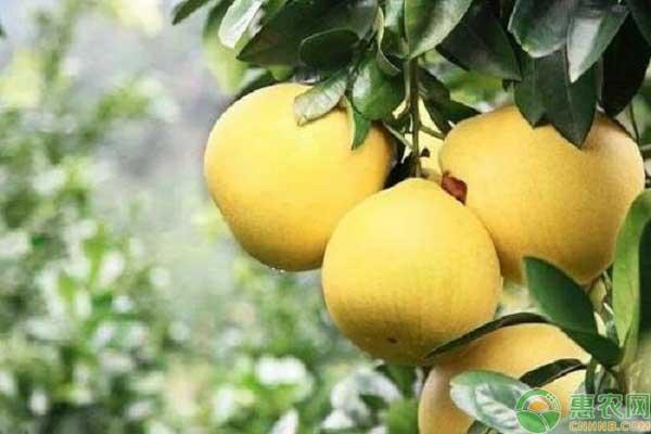 柚子的产地家乡