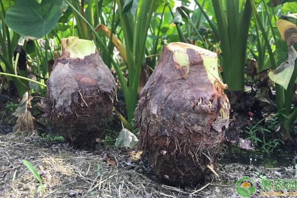 茶陵县种植香芋,成功脱贫致富,实现全村贫困户和农户全覆盖!