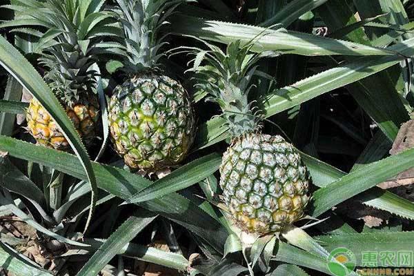 菠萝是哪里产的?吃菠萝有什么好处?看完涨知识!