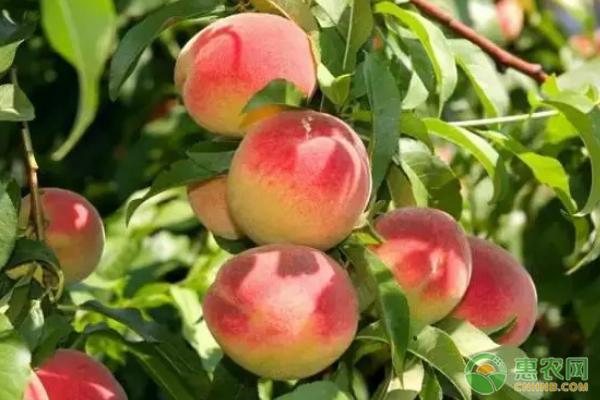 桃子的作用