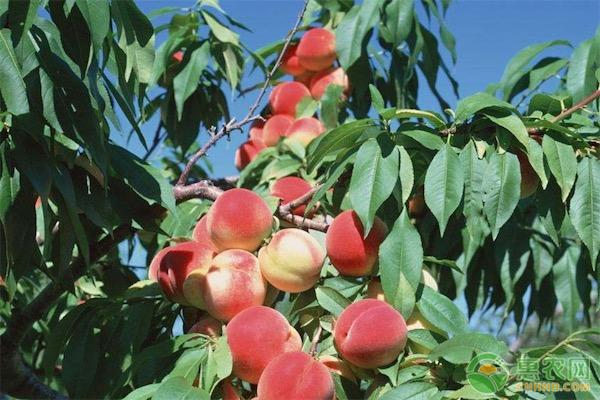 桃子的产地