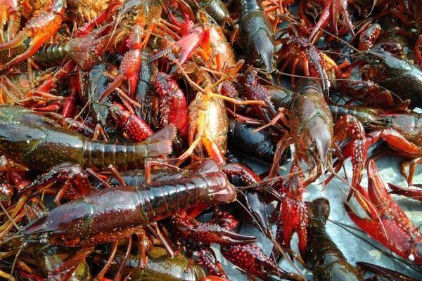小龙虾最新批发价格多少钱一斤?2019小龙虾市场行情分析