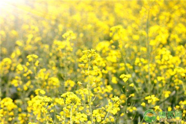 油菜种植管理