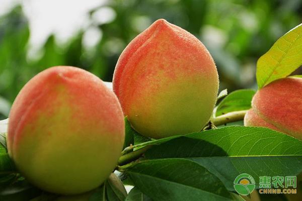 水蜜桃是哪个地方的特产?都有什么特点介绍?