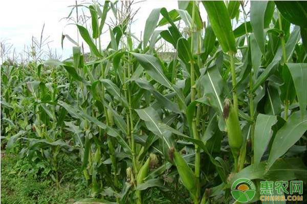 当前玉米价格多少钱一斤?2019全国最新玉米价格行情分析