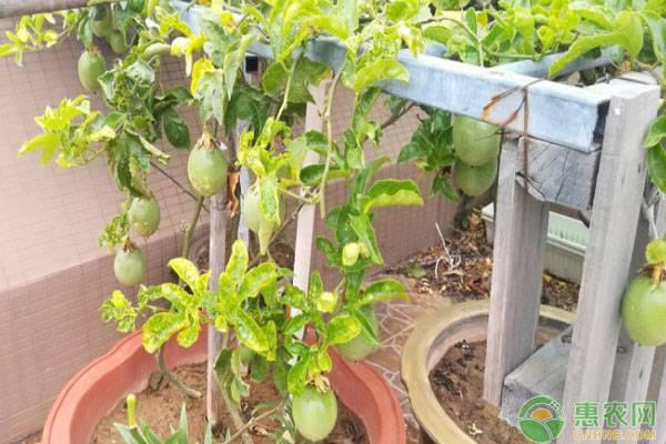 百香果生长在什么地方?在阳台上种植百香果的两种方法