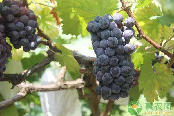 什么地方卖盆裁葡萄?种植盆裁葡萄掌握这三点果实又大又甜!