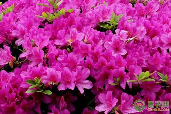 杜鹃花什么时候开?杜鹃花开花后怎样进行养护管理?