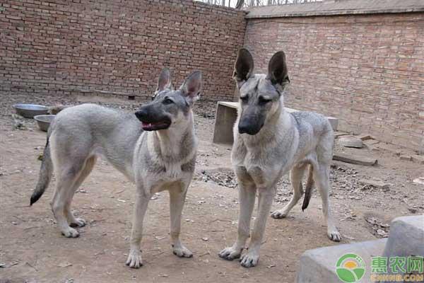 狼青犬在家庭饲养少见的原因