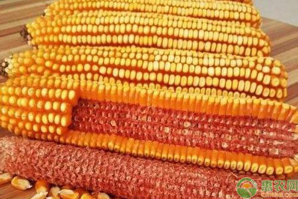 红轴和白轴玉米有何优缺点?分别适合哪些区域种植?
