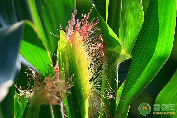 松树镇因地制宜种植糯玉米,成立合作社,成功铺上致富路!