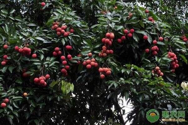 荔枝什么时候成熟?我国哪里的荔枝最好吃?这六种排最前面!