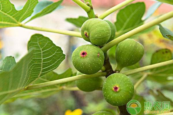 无花果吃了有五大好处,还能延缓衰老,吃无花果需注意哪些问题?