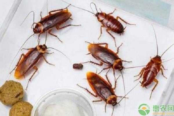 蟑螂怕什么?该如何快速消灭?