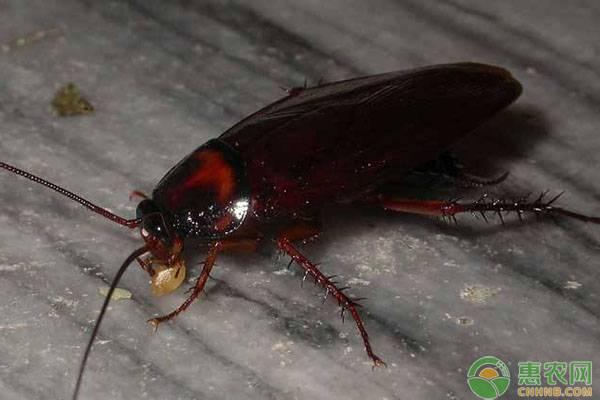 蟑螂怕什么?