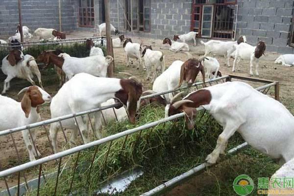 新手养羊需要注意什么?这几点是你必须了解的!