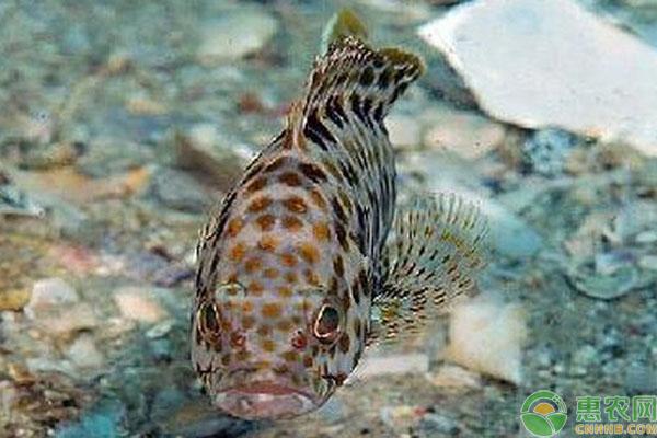 石斑鱼养殖