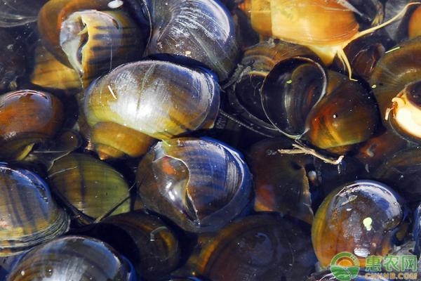 淡水螺的种类